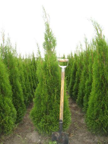 tuja Szmaragd 160 cm krajowa Radom mazowieckie transport sadzenie