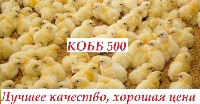 Суточный бройлер круглогодично. Кросс кобб-500 и росс-708 яйцо Венгрии