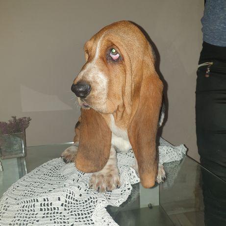 Suczka basset hound tricolor