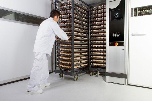 Инкубационные яйца курей яичных и мясояичных пород с Венгрии, Чехии
