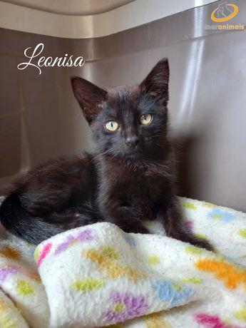 Para adoção: Leonisa