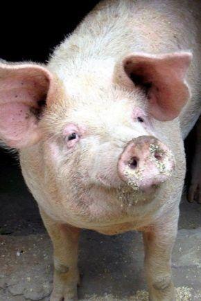 Продам свиней ±140 кг