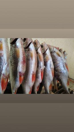 Тарань, сушено вяленая рыба плотва густера судак щука лещ сом