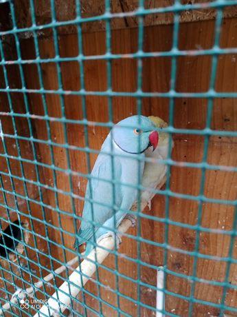 Ring Neck Azul Turquesa Macho / Ring Neck Azul esverdeado Macho