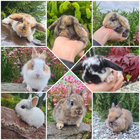 Królik króliczek teddy miniaturka baranek mini lop teddy
