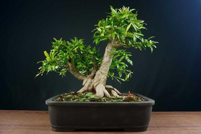 Bonsai Romanzeira / Punica Granatum L.