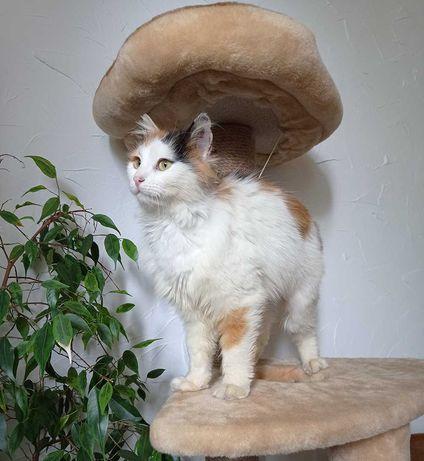 Ласковая пушистая трехцветка, стерилизованая кошка 1 год