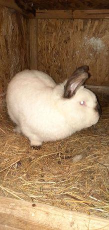 Продаю кролики месная порода киев троечине