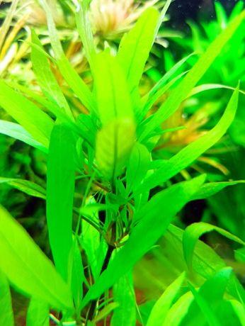 Rośliny akwariowe, Hygrophila guianensis, Nadwódka gujańska [WYSYŁKA]