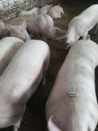 Пропоную свині живою вагою вага 120-140