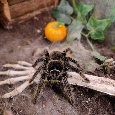 Голиаф для новичков лошадиный огромный паук птицеед самка