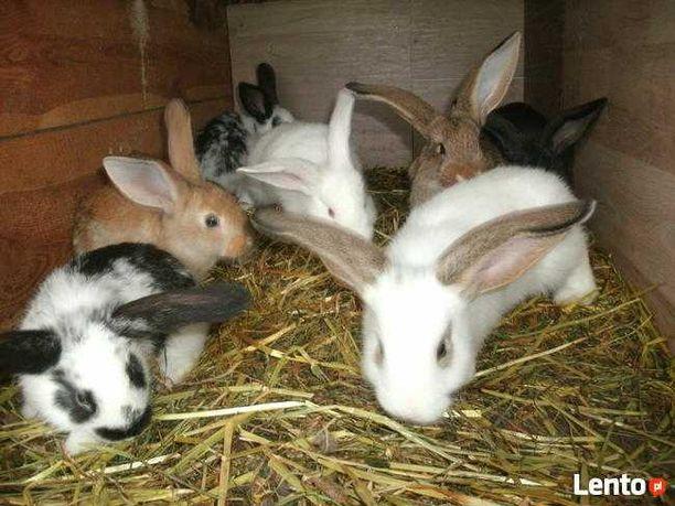 Królik króliki mieszane samce samice małe i duże