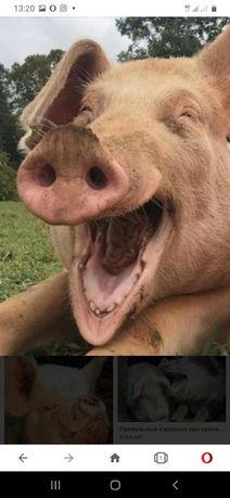 Свини домашние без ГМО.
