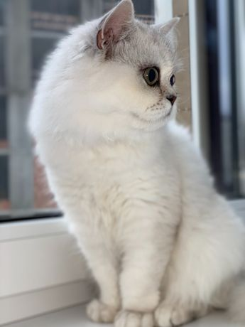 Кот для вязки. Персидская серебристая шиншилла