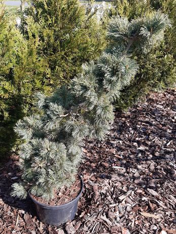 Sosna  Nigra Pinus