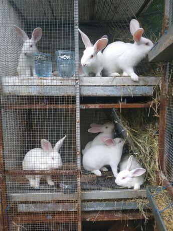 Кролики каліфорнійці та панони.