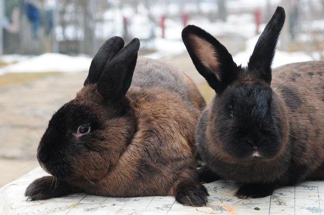 продам кролі породи мардер