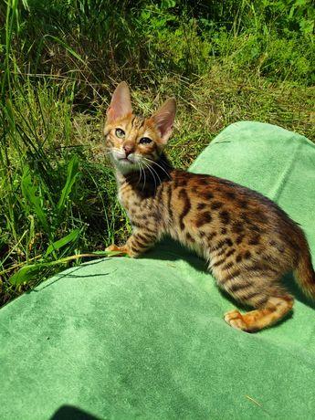 Бенгальские котята мини леопардики