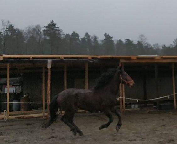 Koń, wałach - Arena Earl