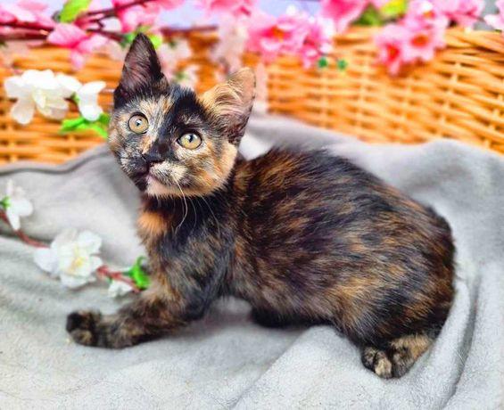 Милая, нежная Трикси черепахового окраса (1,5 мес.). Кошка/котенок