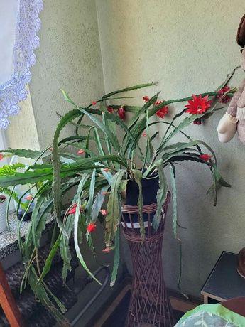 Kaktus wiszący epifilum kwitnący