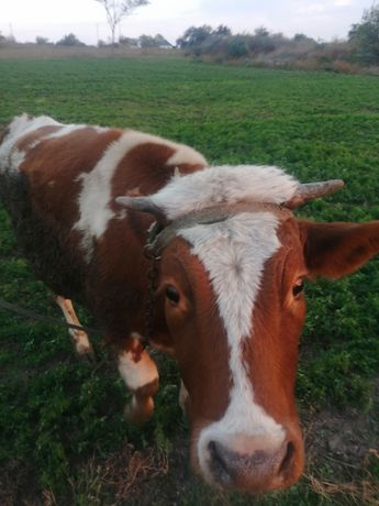 Продам телку на корову
