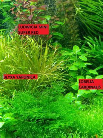 Blyxa japonica (odbiór Radom lub Mniszek)