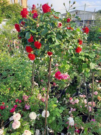 Штамбовaя роза. Продам саженцы штамбовых роз в контейнере
