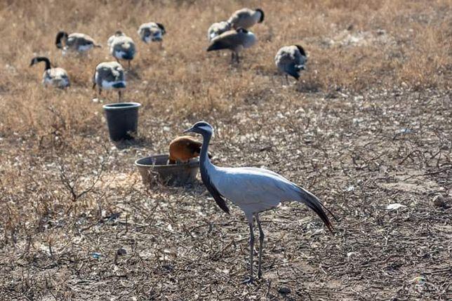 Журавль Красавка. Удивительная птица для содержания