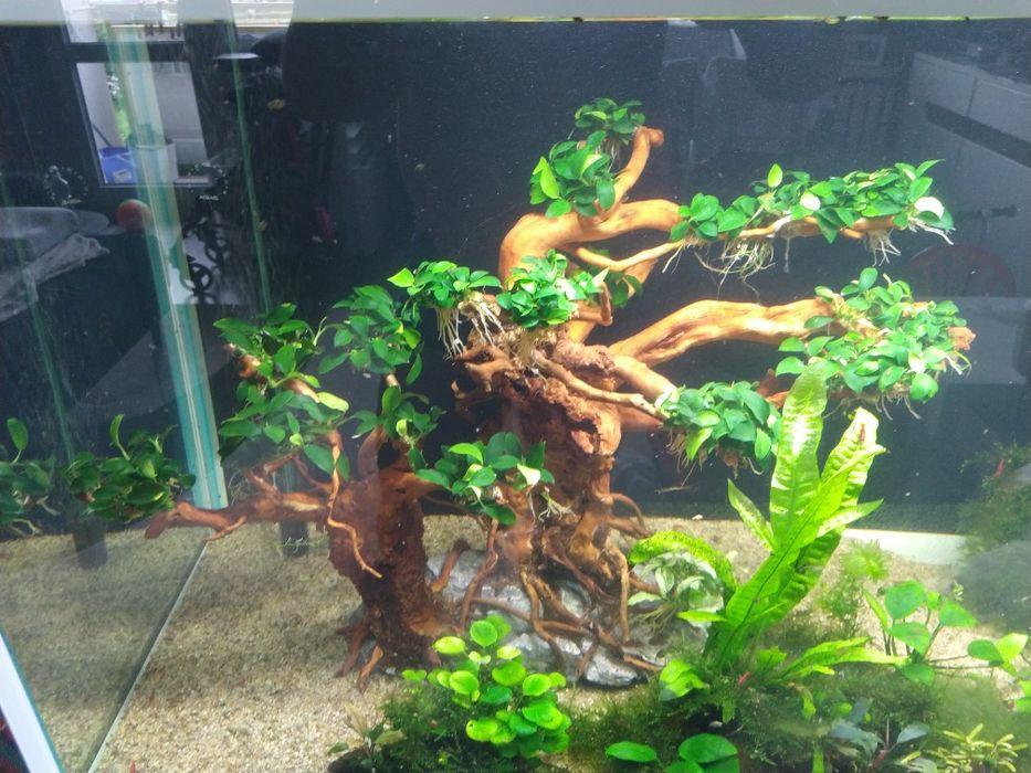 """Anubias """"Paxing""""/Anubiasy/rośliny do akwarium/rośliny akwariowe Toruń - image 1"""