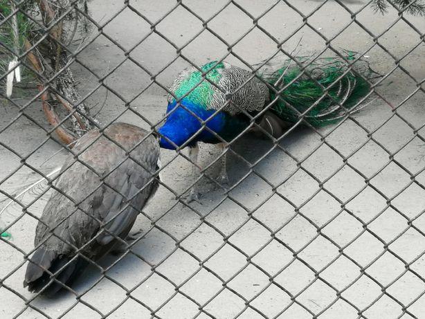 Pawie niebieskie i czarnoskrzydłe