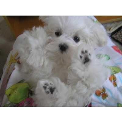 Piesek Maltańczyk z rodowodem.