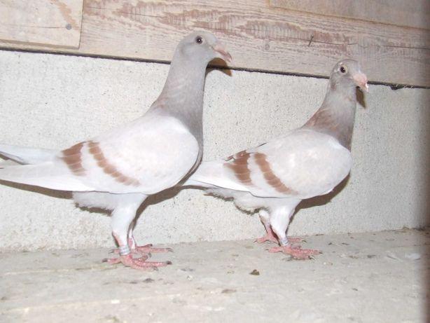 Gołąbki od Mariana nr 52 - gołębie staropolskie