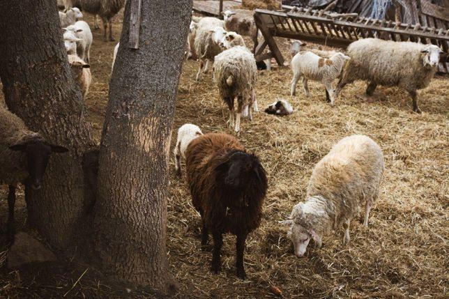 Овцы, бараны, ягнята на мясо