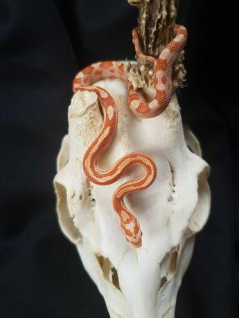 Wąż zbożowy Amel Motley samiec 25.