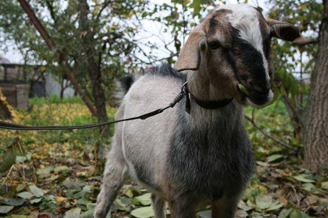 Козлик для ваших коз.