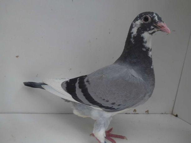 Gołębie pocztowe Gołąb Młodego 2021 Karl Meulemans  rodowodem