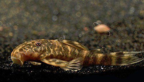 Glonojad Pecoltia vittata L103 4,0 cm