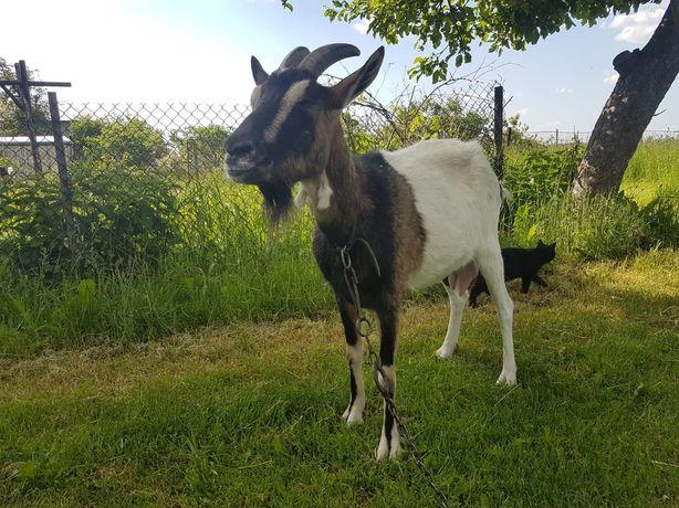 Koza mleczna koza
