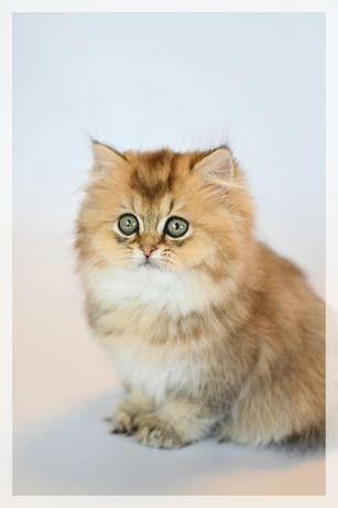 Шотландкий золотой котик Blaise