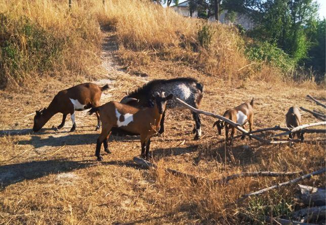 Cabras anãs e bode