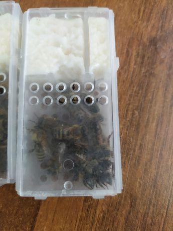 Matki pszczele pszczoły ule rodziny pszczele od reki
