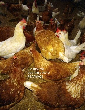 Куры несушки Красные 8 мес. Все оперëные