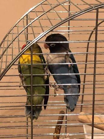 Papugi nierozłączki 2 sztuki