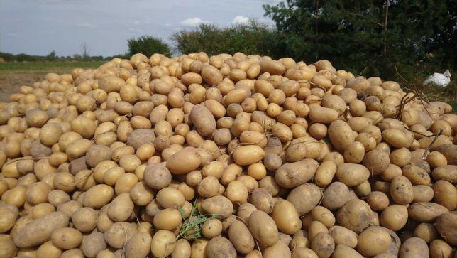 Ziemniaki świeże Lilly