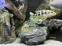 PyszczakFossorochromis rostratuswysyłam