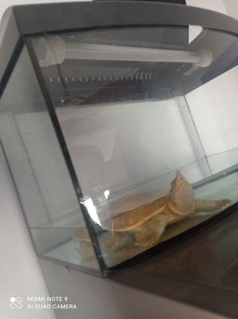 Żółwiak chiński za darmo