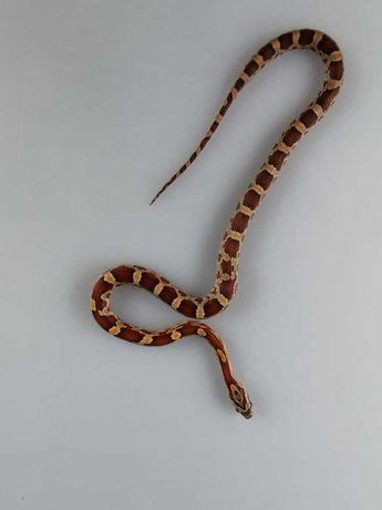 Phanteropis guttatus Wąż zbożowy Z4 Classic Het Amelano Samica
