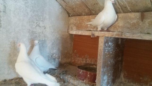 sprzedam gołębie białe pocztowei mulemansy