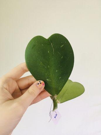 Hoya Kerri hoja w kształcie serca